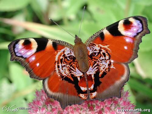 Le farfalle invertebrati forum animali nel mondo - Cimici dove vivono ...