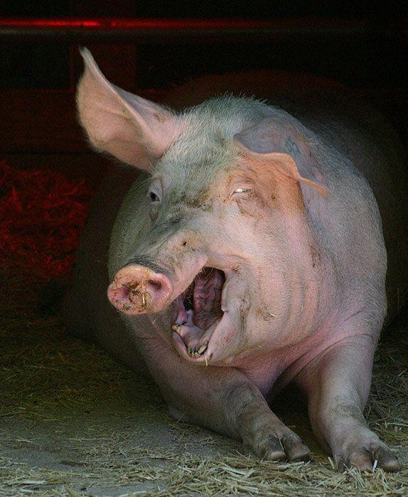 Retarded Pig